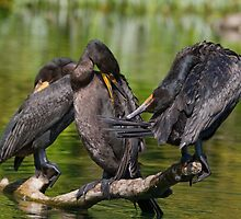 Three Cormorants  by Karen  Moore