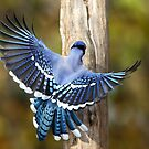 Wings Of Blue / Bluejay by Gary Fairhead