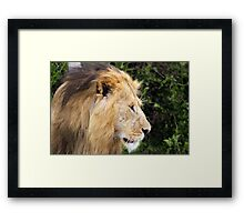 Black Maned Lion Framed Print