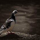 Just a Pigeon by David J Knight