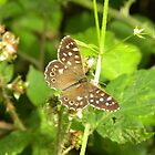 Speckled Wood by rhian mountjoy