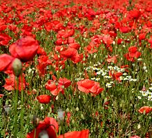 Poppies in Bewdley 2 by ambphotos