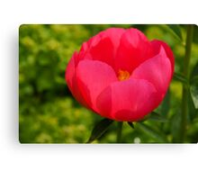 Vivid Spring - Impossibly Pink Peony Unfolding Canvas Print