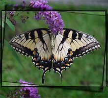 Backside of Giant Swallowtail by Christina Sauber