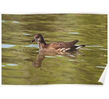 Birds on Bright Water: Juvenile Moorhen Poster