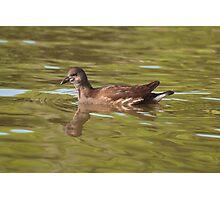 Birds on Bright Water: Juvenile Moorhen Photographic Print
