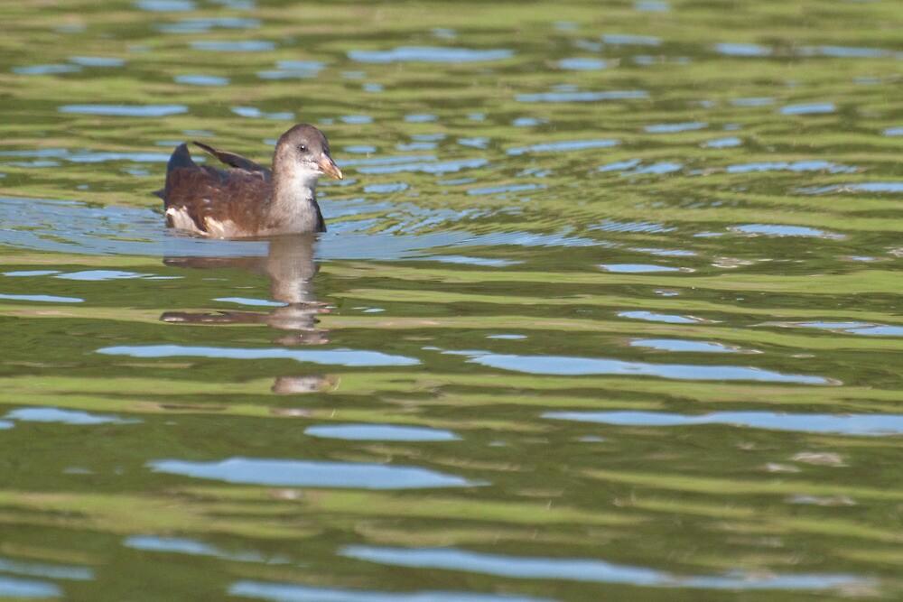 Birds on Bright Water: Juvenile Moorhen2 by Ann Miller