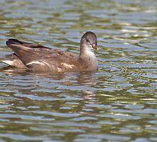 Birds on Bright Water: Juvenile Moorhen3 by Ann Miller