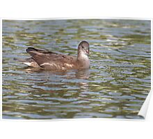 Birds on Bright Water: Juvenile Moorhen3 Poster