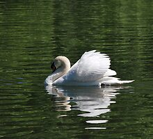 Mute Swan by Cathy Jones