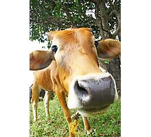 Funny cow in the farm Photographic Print