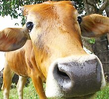 Funny cow in the farm by oonal
