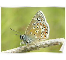 Small Common Blue Butterfly Poster