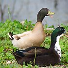 Double Duck by tcat757