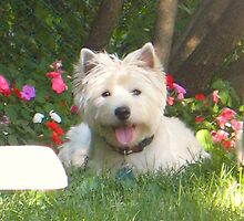 A Westie in ma Garden by MarianBendeth