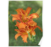 "Orange Day Lily- Hemerocallis fulva""Kwanso"" Poster"
