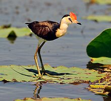 Comb Crested Jacana taken at  Corroboree Billabong NT by Alwyn Simple