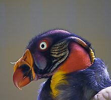 King Vulture, Sarcoramphus papa by Elaine123
