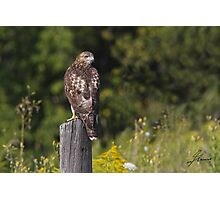 Light juvenile Red-tailed Hawk Photographic Print