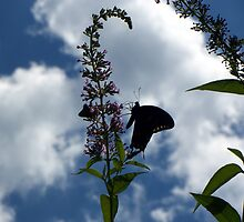 Swallowtail Silhouette by WalnutHill