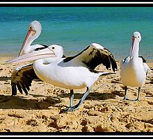 Monkey Mia Pelican's by jodik75