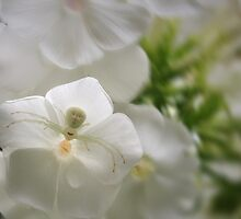 spider phlox by jimHphoto