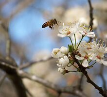 Wild Cherry Blossom & Honey Bee by Penny Odom