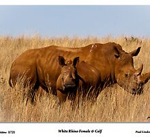 Murdered. White Rhino and Calf by Paul Lindenberg
