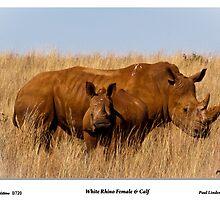 Murdered. White Rhino and Calf by Paul Lindenberg