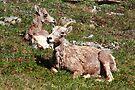 Bighorn sheep by zumi