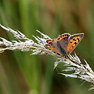 Small copper (Lycaena phlaeas) by saxonfenken