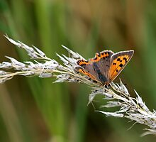 Small copper (Lycaena phlaeas) by saxonfenken