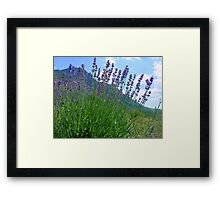 The big season of a lavender 3 .Mountain lavender ... Framed Print