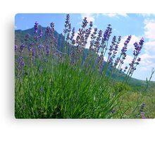 The big season of a lavender 3 .Mountain lavender ... Canvas Print