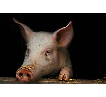 Hey, What's Up? - Little Piglet Rudi Photographic Print