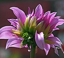 The Dahlias are Coming! by Monnie Ryan