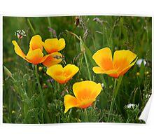 California Poppy & Wildflowers Poster