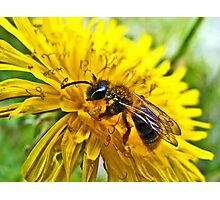 The Wasp and the Dandelion Photographic Print