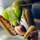 Praying mantis eating a cricket by Johan Larson