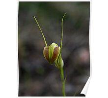 Cobra Greenhood (Pterostylis grandiflora) Poster