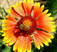 Orange and Red Gaillardia Prairie Flower with Bee Macro by Amy McDaniel
