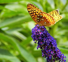Butterfly Bush by AlGrover
