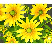 Yellow Summer Cone Flowers in the Garden Photographic Print