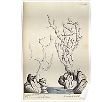 A curious herbal Elisabeth Blackwell John Norse Samuel Harding 1739 0232 White Coral Poster