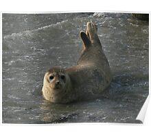 Playing seal Poster