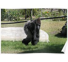Gorilla Compact Poster