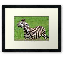 Zebra strike a pose Framed Print
