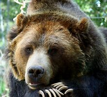 Grizzly Bear in the Colorado Rockies summer shade by Amy McDaniel