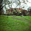 Wild plum blossom by BrainCandy
