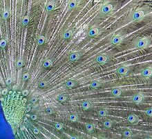 Peacocks in bloom by Paul Hickson